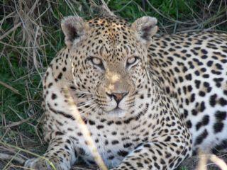 Leopard2Af